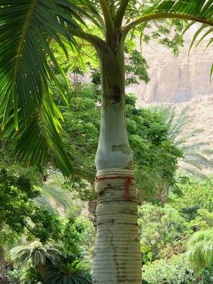 Hyophorbe verschaffeltii (Spindelpalme) in En Gedi, Israel
