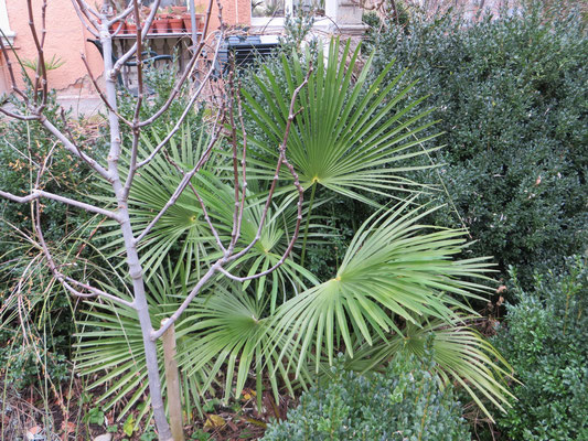 Trachycarpus fortunei in Schaffhausen, Ende Januar 2015