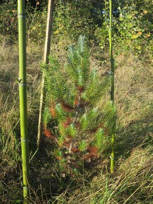 Pinus pinea (Mittelmeer- oder Schirm-Pinie)