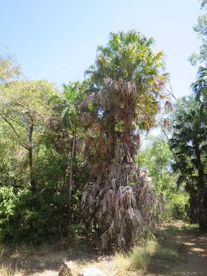 Carpentaria acuminata (links) und Livistona benthamii (rechts) bei Ubirr