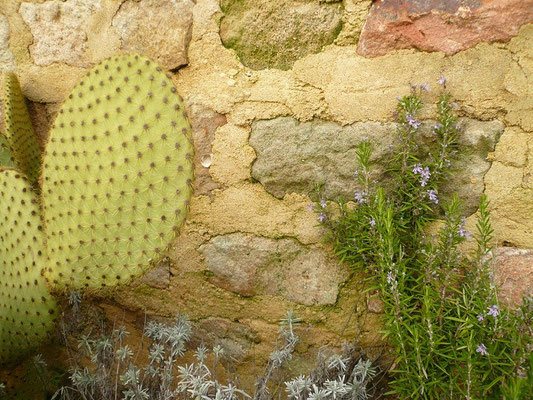 Opuntia scheerii, Lavendula und Rosmarin