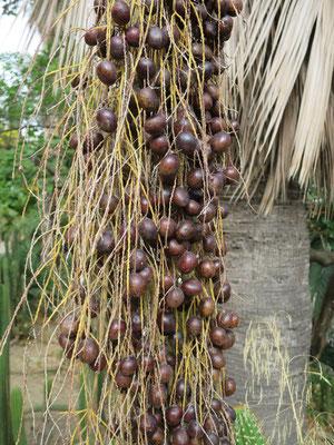 Fruchtstand von Brahea armata in Barcelona