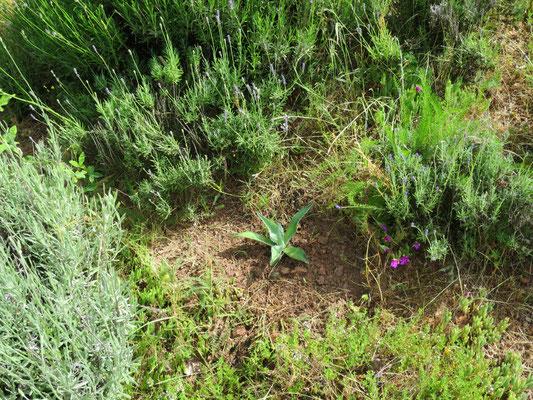 Agave ovatifolia (frisch gepflanzt)