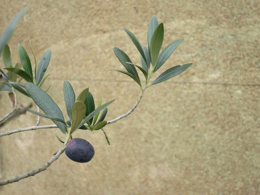Reife Olive an jungem Olivenbaum