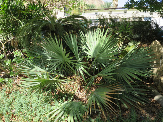 Sabal minor (Zwergpalmetto) in En Gedi, Israel