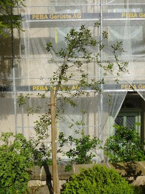 Quercus suber (Korkeiche) in Schaffhausen, Juli 2013 nach der Pflanzung