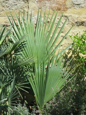 Sabal bermudana