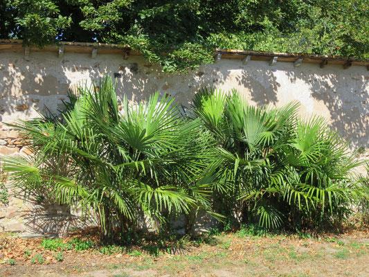 Trachycarpus fortunei als Gruppe