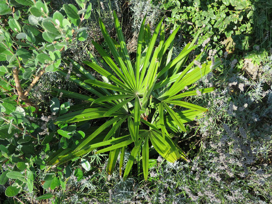 Rhapidophyllum hystrix, Nadelpalme, August 2015
