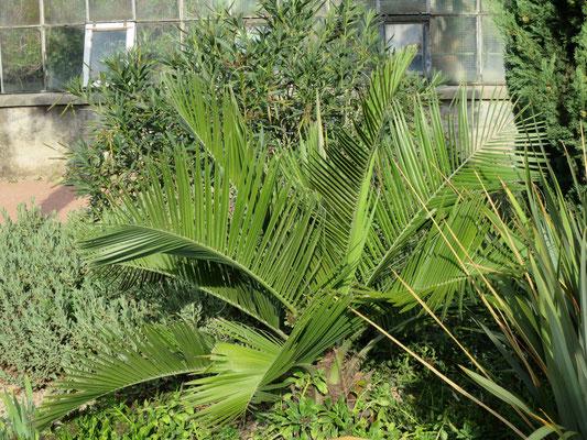 Jubaea chilensis (Chilenische Honigpalme) im Botanischen Garten von Lyon