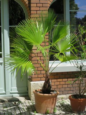 Trachycarpus martianus