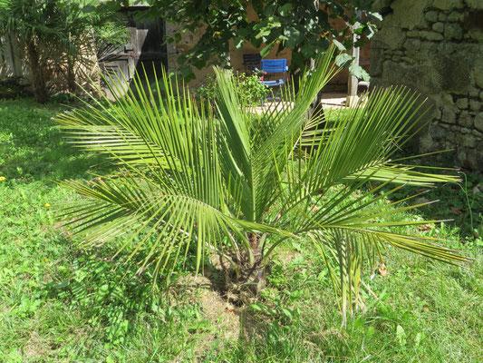 Jubaea chilensis (Chilenische Honigpalme)