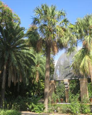 Sabal mexicana im Botanischen Garten von Valencia