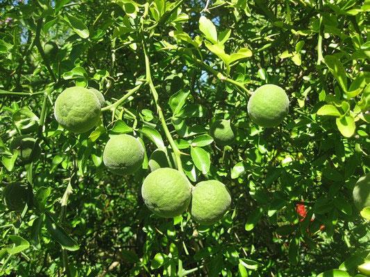 Unreife Früchte von Poncirus trifoliata in Schaffhausen
