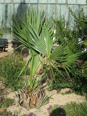 Sabal minor (Zwerg-Palmetto) im Botanischen Garten von Lyon