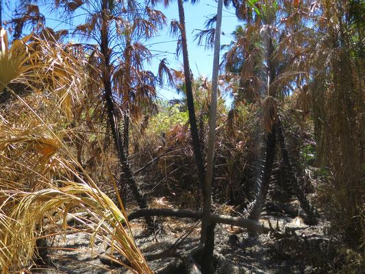 Livistona benthamii Bestand nach einem Buschfeuer bei Ubirr