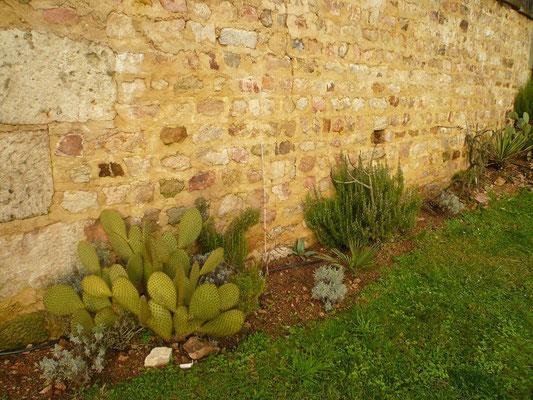 Opuntia scheerii, Agave americana, Rosmarin, Trachycarpus nanus