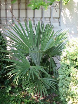trachycarpus fortunei tessinerpalme chinesische hanfpalme. Black Bedroom Furniture Sets. Home Design Ideas