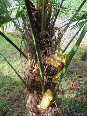 Beide Trachycarpus fortunei im Mai 2015 erstmals in Blüte!
