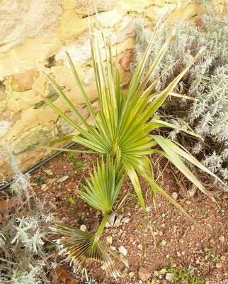 Sabal palmetto im Januar 2013. Anzeichen von leicheter Schädigung nach kurzzeitigen -6°C anfangs Dezember 2012