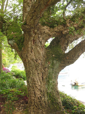 Stamm von Quercus suber (Korkeiche) in Montreux (CH)