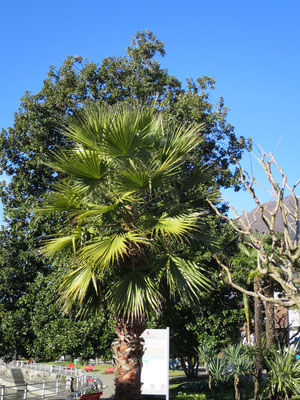 Washingtonia robusta (Petticoat-Palme) im Tessin