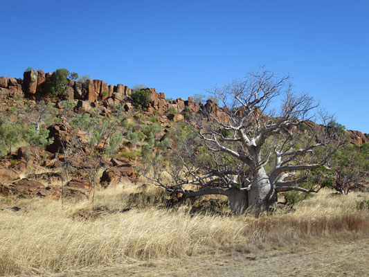 Australischer Boab (Adansonia gregorii)