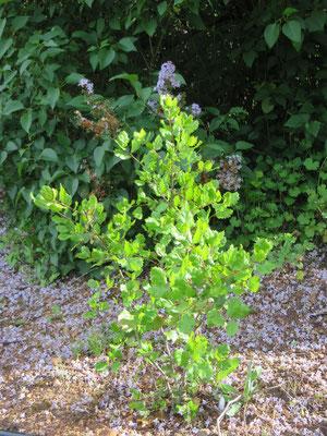 Quercus agrifolia