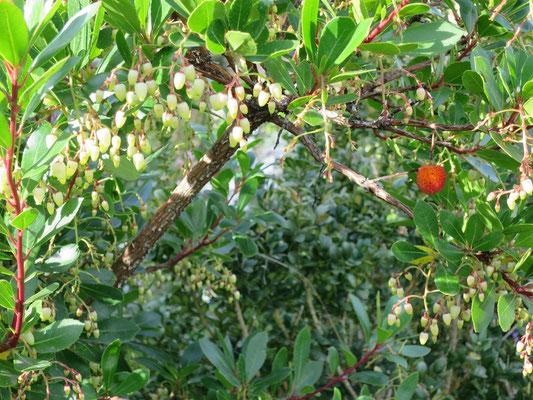 Arbutus unedo (Erdbeerbaum) mit Blüten und Früchten