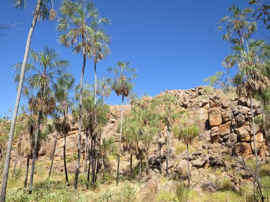 Livistona inermis, Nitmiluk Nationalpark, Katherine Gorge