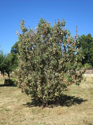 Apfelbäume leiden unter der extremen Trockenheit