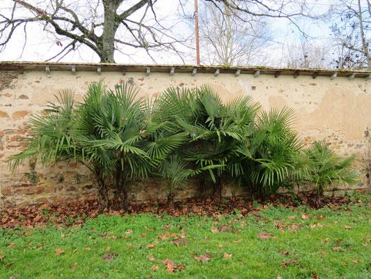 Gruppe von Trachycarpus fortunei, Chinesische Hanfpalme