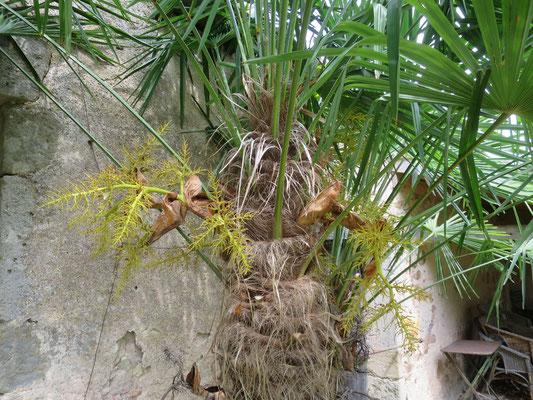 Trachycarpus fortunei (männlicher Blütenstand, verblüht)