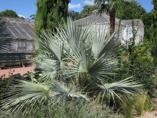 Brahea armata (Blaue Hesperidenpalme) im Botanischen Garten von Lyon