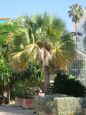 Sabal bermudana im Botanischen Garten von Valencia, Spanien.