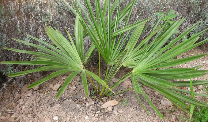 Trachycarpus nanus im ersten Sommer 2008 nach der Auspflanzung