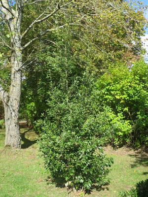 Quercus ilex (Steineiche)