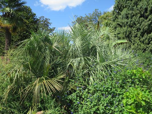 Butia odorata (Gelee Palme) im Botanischen Garten von Lyon