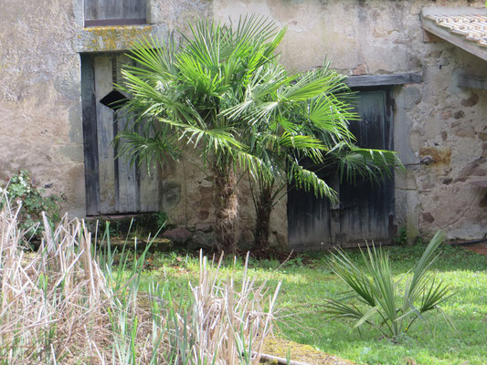 Beide Trachycarpus fortunei im Mai 2015