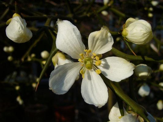 Blüten von Poncirus trifoliata in Schaffhausen