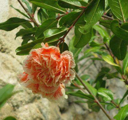 Punica granatum 'Legrellei' (Granatapfelbaum, Sorte mit gefüllten Blüten)