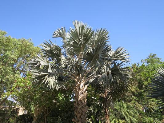Bismarckia nobilis (Bismarck-Palme) in En Gedi, Israel