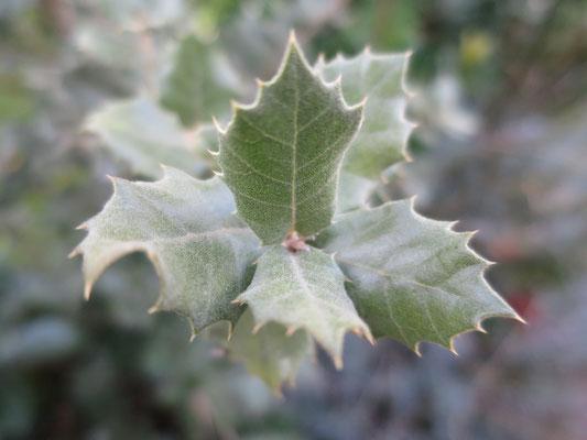 Quercus ilex subsp. ballota (Rundblättrige Steineiche)