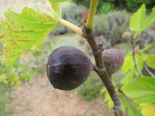 Ficus carica 'Grosse Grise'