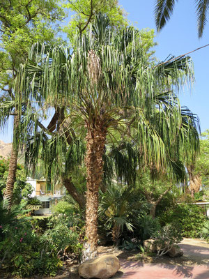 Livistona decora (Trauer-Schirmpalme) in En Gedi, Israel