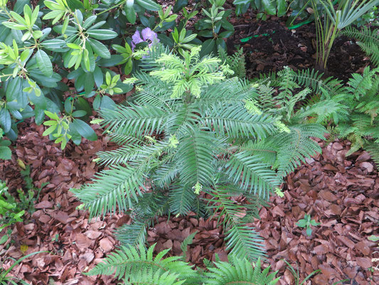 Wollemia nobilis hat den milden Winter 2013/14 ohne Schutz sehr gut überstanden und beginnt im April bereits mit dem Austrieb.