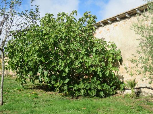Ficus carica (grüne Früchte, Sorte unbekannt)