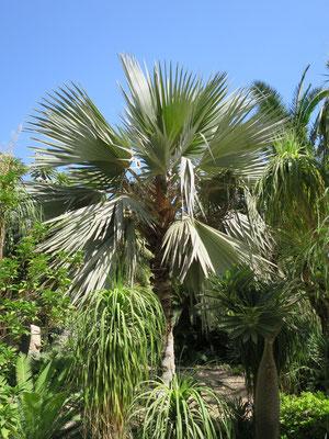 Latania loddigesii (Blaue Latan-Palme) in En Gedi, Israel
