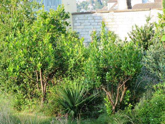 Sabal minor (Zwergpalmetto) umgeben von Arbutus unedo (Erdbeerbaum)