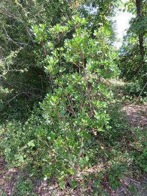 Ausgepflanzter Arutus unedo im Burgund